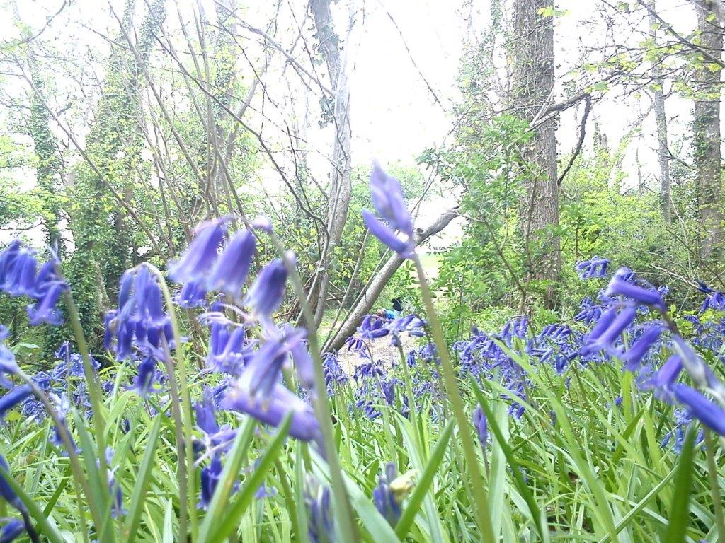 bluebells binsted woods